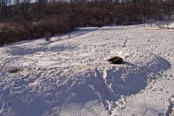VIDEO LIVE din sanctuarul Libearty, cea mai mare rezervație de urși bruni din lume