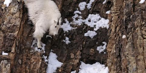 Foto: http://www.boredpanda.com/crazy-mountain-goats/